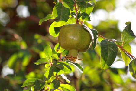 Pomegranate on tree with green leaves