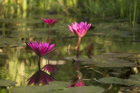 aquatic herb: Beautyful tropical flower of thailand on sunrise