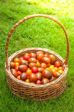 緑の芝生の上のバスケットにトマト 写真素材