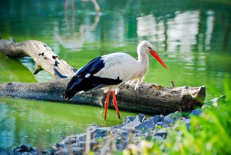 池の上のコウノトリ 写真素材