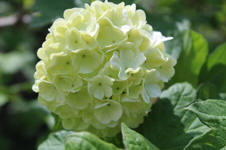 white viburnum in the green garden is very beautiful very good