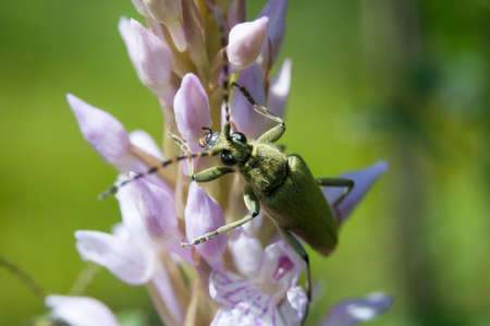 cerambycidae: beetles Cerambycidae alone of us are sitting on a purple flower Stock Photo