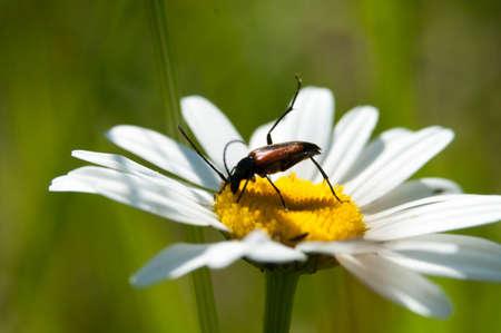 cerambycidae: beetles Cerambycidae alone of us are sitting on a camomile