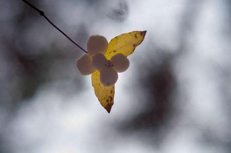 White berryes callicarpas in forest autumn background Stock Photo