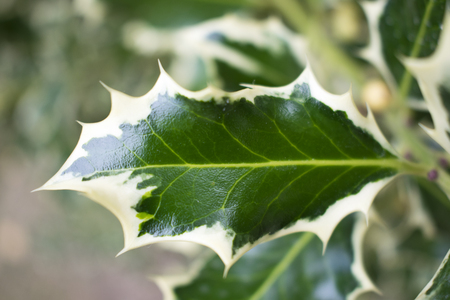 holly leaf with lighter edge foreground, other holly leaf blur background with foliage in garden