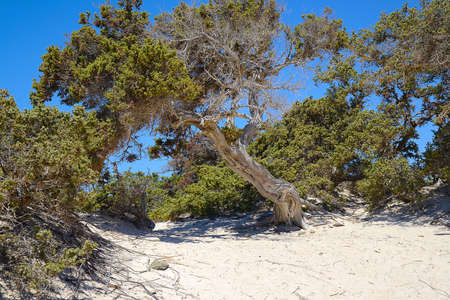 Juniper on the desert of Chrissi, protected area, Greece