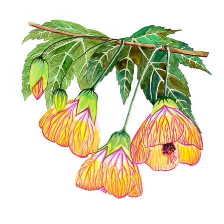 Watercolor hand drawn abutilon flower illustration. Orange large flowers with large green leaves with a branch on a white background, for cards, magnets, invitations and other purposes. Archivio Fotografico - 137369433