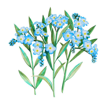 Watercolor hand drawn forget-me-not Myosotis flower illustration. Three twigs with many shallow blue flowers on a white background, for cards, magnets, invitations and other purposes. Archivio Fotografico - 137369863