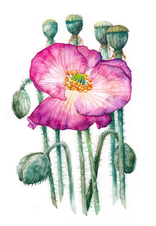 Purple poppy and buds on a white background, watercolor handwork. For postcards, wedding invitations, holiday gift for women.
