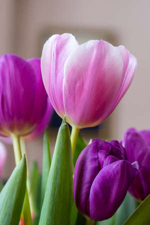 Blooming pink tulip close-up on a blurred background. Flowers for cards, congratulations, transparent petals, on which you can see the pattern of veins. Can be used for postcards, congratulations. Stock Photo