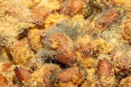 Pine nuts with mold background. Close up of mold spores, mycelium, yellow balls and green flakes. Spoiled food that can no longer be eaten. Standard-Bild
