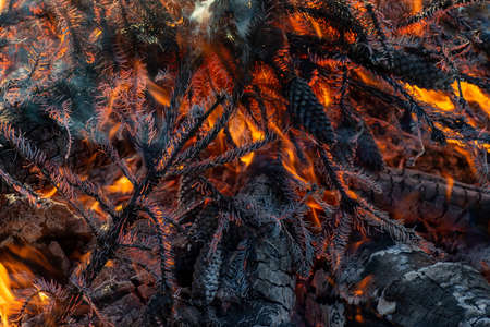Burnt spruce branches close-up. The needles have turned to gray ash, in the depths a red fire burns. Forest fire, danger to trees in the dry season. Zdjęcie Seryjne