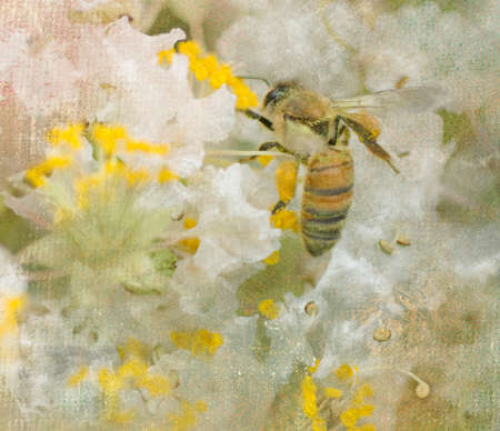 Image of a bee in the blooms of the crepe myrtle.  Digitally enhanced to give an artistic effect of a painting on canvas.