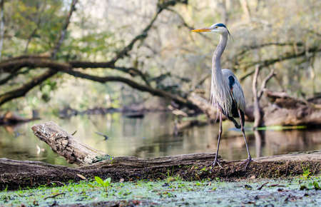 arching: A Great Blue Heron stands on a log in the foreground. Branches arching over the river in the background. Stock Photo