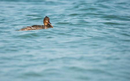 marine bird: Seabird swims on the surface of the water.