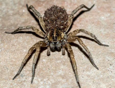 Macro close-up detail. The Wolf Spider carries her babies on her back. 版權商用圖片 - 46197155
