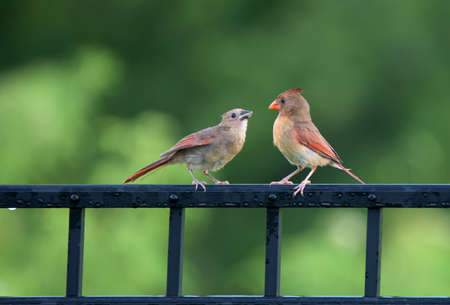 fledgling: Female cardinal with a just-fed fledgling on a black fence.