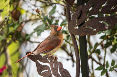 female cardinal: A female cardinal perches on a lawn ornament.