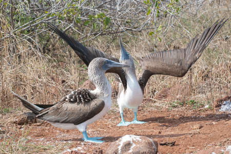 A pair of blue-footed boobies performing their mating ritual of sky-pointing.