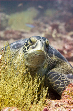 poised: Green Sea Turtle off the Galapagos Islands.  Turtle is poised over a bed of black coral (which is actually yellow when it is alive).