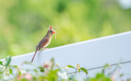 female cardinal: Female cardinal gathering twigs on white fence with green blurred background.