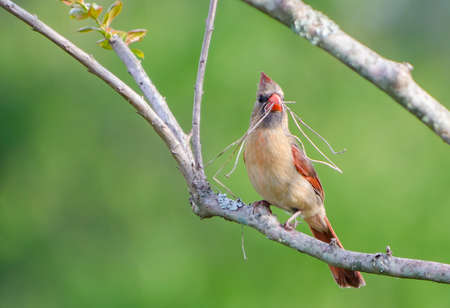 gathers: Female cardinal gathers twigs for nesting Stock Photo