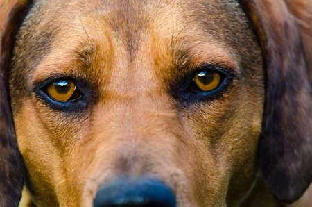 Reddish brown hound looks intensely into camera. Фото со стока