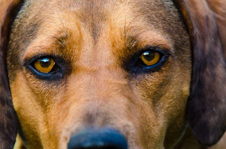 intensely: Reddish brown hound looks intensely into camera. Stock Photo