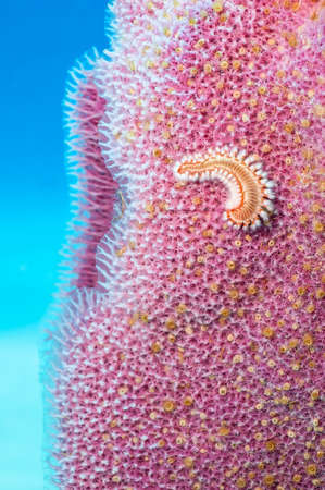 Turquoise Underwater Background with magenta vase sponge and orange bearded fireworm in foreground. 版權商用圖片 - 48663105