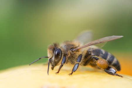 distributing: Bee close-up on green background Stock Photo