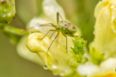 culicidae: Green mosquito - Culicidae sp. on yellow flower Stock Photo