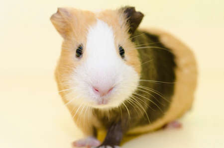 guinea pig: Guinea Pig House animal on yellow backgorund