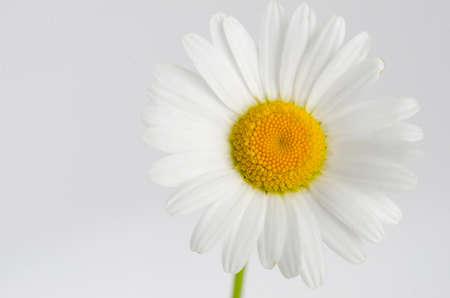 matricaria: Chamomile white flower isolated on white - Matricaria chamomilia