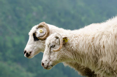 trespasser: 2 white sheep near a steep with green trees background at mountain