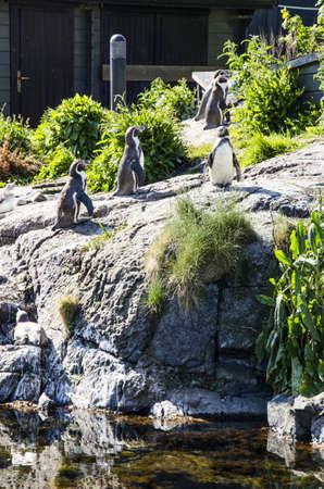 monogamous: Nature s most loyal lovers - Magellanic penguins - Spheniscus magellanicus