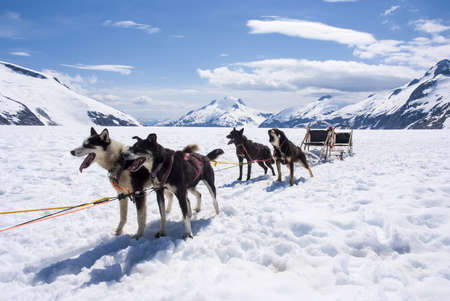 dog sled: Alaska - Dog Sledding - Travel Destination Stock Photo