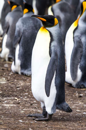 bluff: Colony of king penguins in Bluff Cove, Falkland Islands