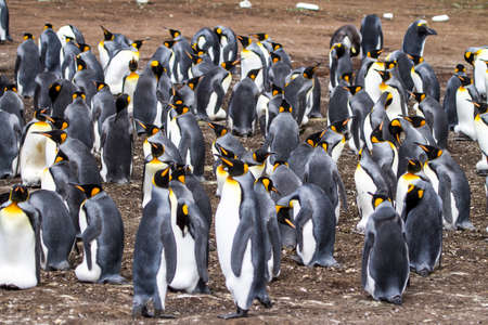 tierra: Colony of king penguins in Bluff Cove, Falkland Islands