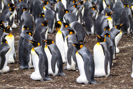 Colony of king penguins in Bluff Cove, Falkland Islands  photo