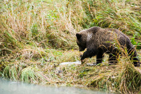 Brown Bear near the river photo