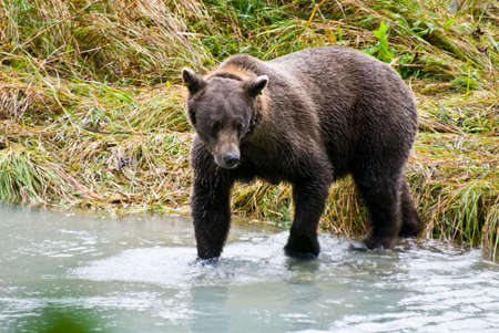 Brown Bear in a river photo