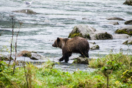 Brown Bear in the river photo