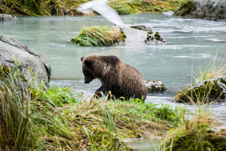 katmai: Brown Bear in the river Stock Photo
