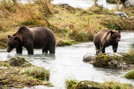 Brown Bears in the river photo