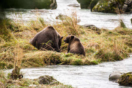 Brown Bears at the river photo