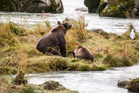 Brown Bear at the river photo