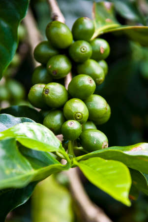 Nature s Garden - Coffee - Green Coffee Beans On The Branch - Unripe Coffee Berries - Immature Coffee Berries  Stock Photo