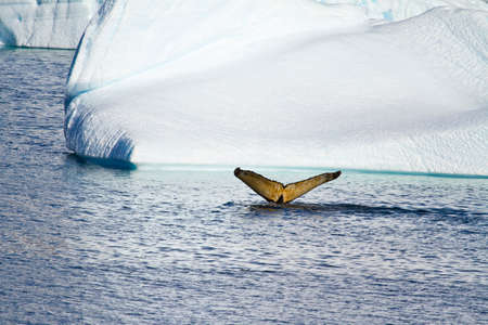 natural habitat: Antarctica - Whale In Natural Habitat - Whale Watching Adventure