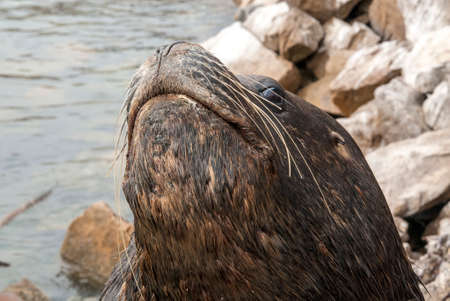 flavescens: South American Sea Lion - Otaria Flavescens - Closeup - Chile Stock Photo