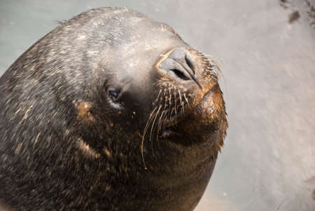 upturned: South American Sea Lion - Otaria Flavescens - Chile